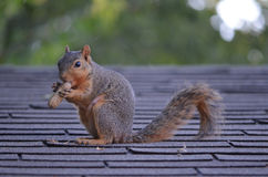 Squirrel with a Nut. Squirrel eating a peanut on a roof in Alvarado, Texas royalty free stock photography