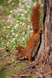 Squirrel with nut. Squirrel going down to the walnut tree Royalty Free Stock Photography