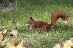 Squirrel with a nut in the grass stock photo