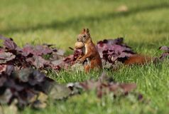 Squirrel with a nut in the grass royalty free stock photos