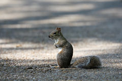 Squirrel. With a nut in his hand sitting on the road Royalty Free Stock Photography
