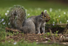 Squirrel with nut in mouth Stock Photos