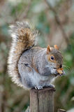 Squirrel. / nut / park / london / autumn stock photos