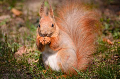 Squirrel with a nut Royalty Free Stock Image