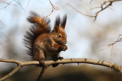 Squirrel with nut. Red squirrel eating nut on the tree Royalty Free Stock Image
