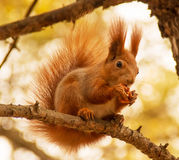 Squirrel with nut. Red squirrel with nut on the tree Stock Photos