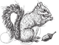 Squirrel nut sketch Stock Photos