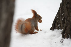 Squirrel with nut on a snow. In a city park stock photos