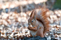 Squirrel with nut. Royalty Free Stock Photo