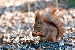 Squirrel with nut. Stock Image