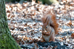 Squirrel with nut. Royalty Free Stock Photos