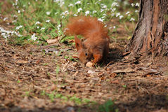 Squirrel with nut. Squirrel standing next to a tree and biting nut Royalty Free Stock Photography