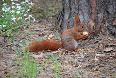 Squirrel with nut. Squirrel standing next to a tree and biting nut Stock Images