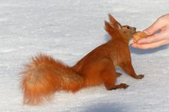 Squirrel Nut takes away from the hands Stock Images