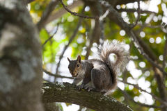 Squirrel with nut in tree 2. Squirrel that has a nut staring in a tree 2 Stock Photo
