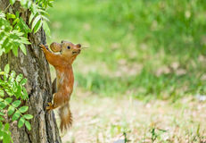 Squirrel with nut. On the tree Royalty Free Stock Images