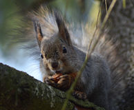 Squirrel with nut. Squirrel on a tree branch holding a nut, which it treated visitors to the park Royalty Free Stock Image