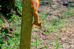 Squirrel with nut on the tree Stock Photos