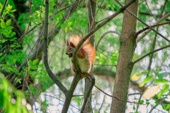 Squirrel with nut on the tree Royalty Free Stock Photos