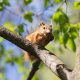 Squirrel with a nut on a tree Royalty Free Stock Images