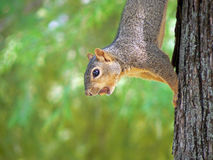 Squirrel with Nut. Squirrel on tree trunk with nut in mouth Royalty Free Stock Image