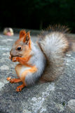 Squirrel - nutcracker. Squirrel that nibble nuts, nutcracker Stock Images