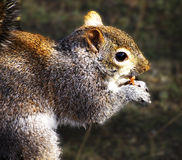 Squirrel and nuts royalty free stock photos