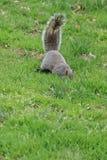 Squirrel nuts stock photos