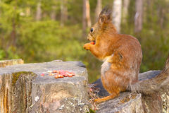 Squirrel with nuts and summer forest on background Stock Photography