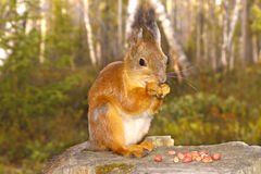 Squirrel with nuts and summer forest on background wild nature Royalty Free Stock Photos