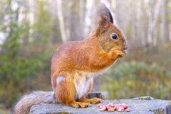 Squirrel with nuts and summer forest on background Royalty Free Stock Images