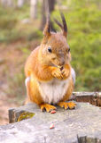 Squirrel with nuts and summer forest on background wild nature thematic Stock Image