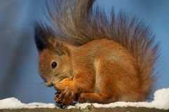 Squirrel and nutshell. Red squirrel with fluffy tail is eating something from the nutshell Stock Image