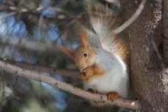 Squirrel esse eateth acima das porcas Foto de Stock