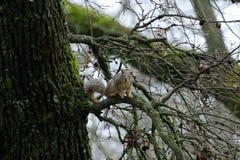 Squirrel in an oak tree stock photo