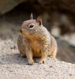 A squirrel off highway 1 in California Stock Photo