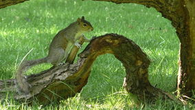 Squirrel on an old tree branch on grass stock video