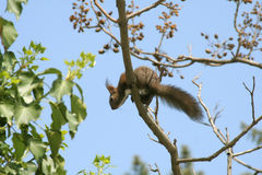 Free Squirrel On A Tree Royalty Free Stock Images - 10046399