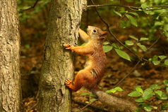 Free Squirrel On A Tree Stock Images - 55665964