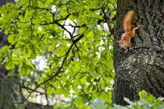 Squirrel On Oak Royalty Free Stock Photos