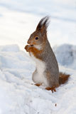 Squirrel On Snow Stock Image