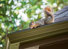 Free Squirrel On The Roof Stock Images - 184153974