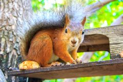 Squirrel is an ordinary beautiful redhead sitting on the feeder and eating stock image