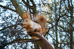 Squirrel ordinary, orange, sitting in a tree and eats. Cold season. Park zone. Forest Royalty Free Stock Photo
