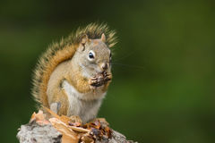 Squirrel outdoors Stock Images