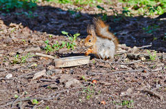 Squirrel outdoors Stock Photography