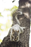 Squirrel over a tree. Squirrel eating a nut laid over a tree Stock Photos