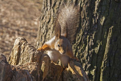 Squirrel - the owner of the park. Stock Photography