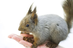 Squirrel on the palm Stock Photos