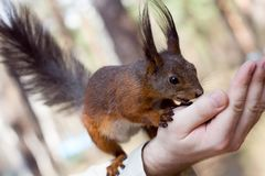 Squirrel on the palm. The squirrel on the palm Stock Photo